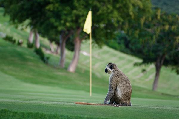 FourSeasons_Monkey_Golf_001